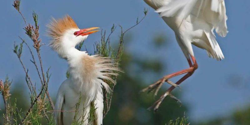 marais-aux-oiseaux-Heron-garde-boeufs_oleron_vacances_activité